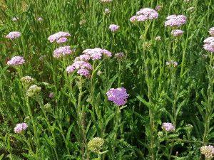 Schafgarbe mit rosa Blüten