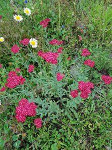 Schafgarbe mit roten Blüten