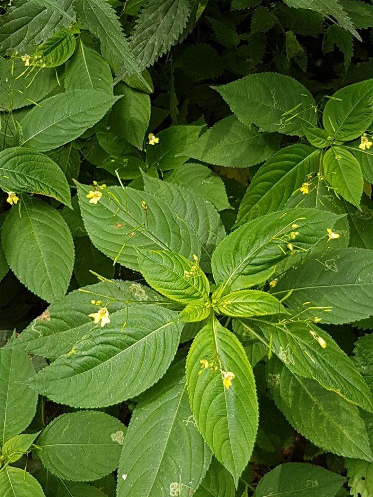 Blätter des kleinen Springkrauts