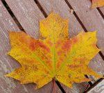 Ahorn Herbst 1